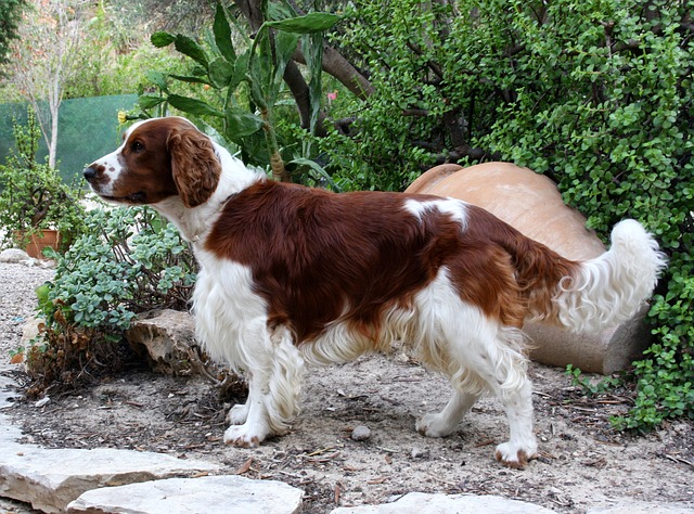 welsh-springer-spaniel-107938_640