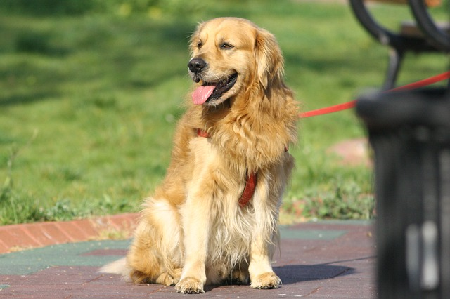golden-retriever-460885_640