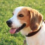 パノラミスは犬のフィラリア・ノミマダニ駆除・体内寄生虫駆除が一度に出来る今話題の新薬です
