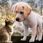 犬や猫のアジソン病の治療薬フロリネフについて