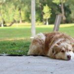 メタフラムチュアブル犬用は関節痛を和らげるお薬です